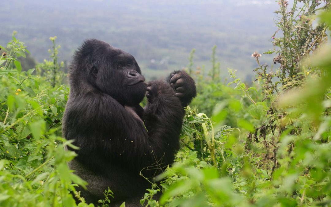 Congo Gorilla Trekking – Backpacker's Guide to Gorilla Tours