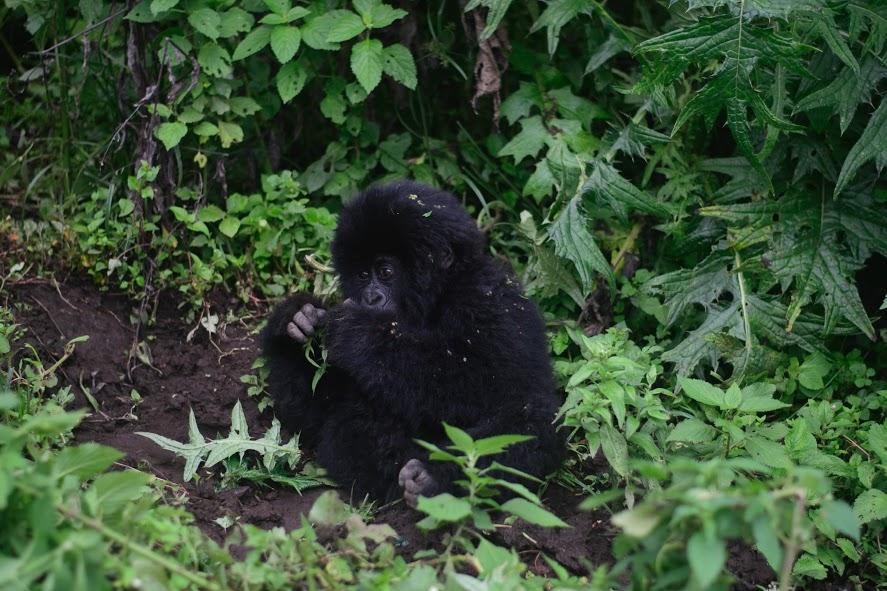 congo gorilla trek baby gorilla