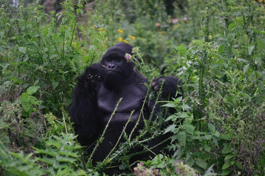 mother gorilla trek congo